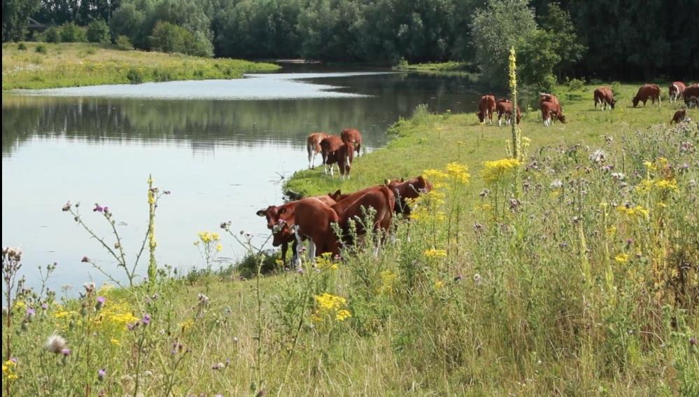 Koeien in de uiterwaarden van de Maas